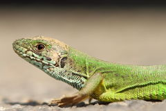 Green lizard portrait Stock Photos