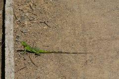 Green lizard ready to jump stock image