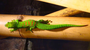 Green Lizard With Red Spots Royalty Free Stock Image
