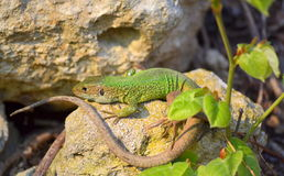 Green lizard relaxing on the rocks. A green lizard coming out of its hole in the rocks.The filfola lizard or Maltese wall lizard (Podarcis filfolensis) is a stock images