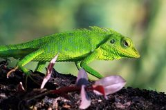 Green lizard, lizard, reptile, animal. Green lizard on wood, lizard royalty free stock photos