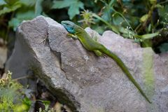 Green Lizard Resting Stock Photography