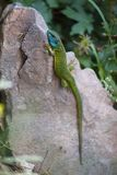 Green Lizard Resting Royalty Free Stock Image
