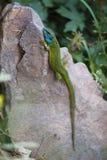 Green Lizard Resting Royalty Free Stock Image