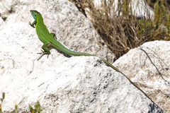 Green lizard on rock Royalty Free Stock Photo