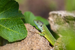Green lizard in rock Royalty Free Stock Image