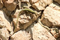 Green lizard on the rock Royalty Free Stock Images