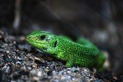 Green lizard on a rock Royalty Free Stock Photo