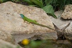Green lizard in rock Stock Photos