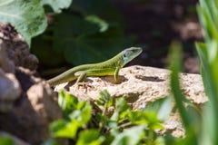 Green lizard in rock Royalty Free Stock Image