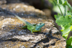 Green lizard in rock Royalty Free Stock Photos