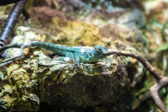 Green lizard on a rock Royalty Free Stock Photo