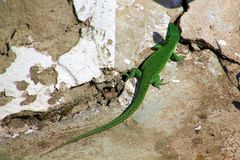 Green lizard on the rocks royalty free stock image