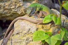 Green lizard on the rocks. A green lizard crawled out of its hole in the rocks.The filfola lizard or Maltese wall lizard (Podarcis filfolensis) is a species of stock image