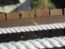Green lizard on rope Stock Photo