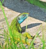 Green lizard with short tail Royalty Free Stock Images