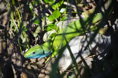 Green Lizard Stock Photo