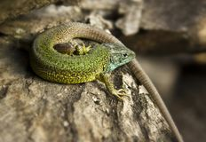 Green lizard sitting on a bark Stock Photos