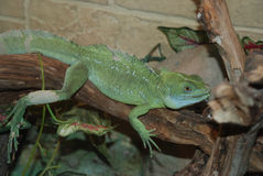 Green lizard. Sitting on a branch Royalty Free Stock Photos
