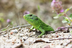 Green lizard sitting on the earth. Royalty Free Stock Images