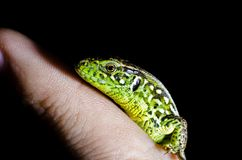 A green lizard sitting on a finger on a black isolated background. Photo from the side Stock Image