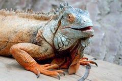 Green lizard. Sitting on the floor Stock Image