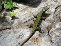 A green lizard sitting on a grey rock in Cinque Terre, Italy royalty free stock photo