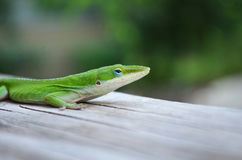 Green Lizard. A green lizard sitting on a piece of wood Stock Photo