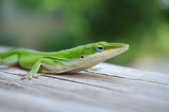 Green Lizard. A green lizard sitting on a piece of wood Royalty Free Stock Image