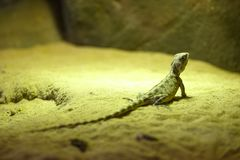 Green lizard sitting on the sand. stock image