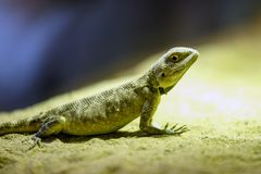Green lizard sitting on the sand. stock images