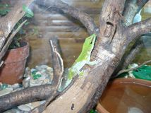 Green lizard. Sitting on a snag in the cage Stock Image