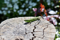 Green lizard on sitting on a tree Royalty Free Stock Images