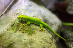 Green lizard sitting on a tree Stock Photography