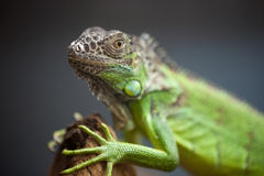 Green lizard sitting on the tree Royalty Free Stock Image