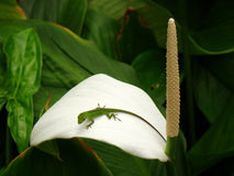 Green lizard sitting on a white flower, Oahu, HI Royalty Free Stock Photography