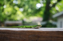 Green Lizard. A green lizard sitting on wood Stock Photo