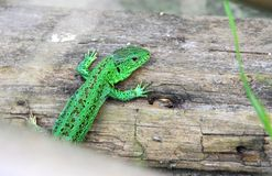 Green lizard sitting on the wood. Bright green lizard sitting on the wood Stock Photo