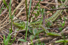 Green lizard skin changes. Royalty Free Stock Photography