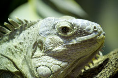 Green lizard skin detailing hard and scaly Stock Photos