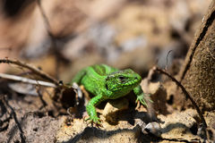 Green lizard stalking among stones, fallen leaves and twigs, fro. Dragons are back - green lizard stalking among stones, fallen leaves and twigs (front view Royalty Free Stock Photos