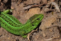 Green lizard stalking among stones, fallen leaves and twigs, sid Royalty Free Stock Photography