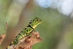 Lizard. Green lizard stay on branch stock photos