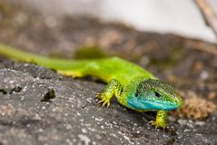 Green lizard on a stone Royalty Free Stock Photos