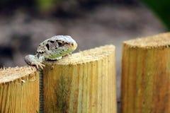 Green lizard Royalty Free Stock Photos