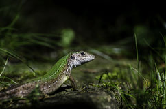Green lizard on a stone. Green anole lizard on a stone in garden Royalty Free Stock Image