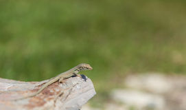 Green lizard on the stone blurred background Stock Images