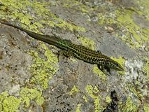 A green lizard on the stone royalty free stock photo
