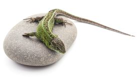 Green lizard on a stone stock image