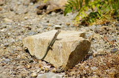 Green lizard on the stone Royalty Free Stock Images